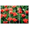 Tulip Khoe Sắc M1208
