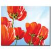 Tulip Khoe Sắc M1227